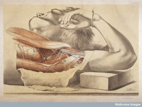 """L0033938, """"The Superficial Muscles of the Thorax, and the Axilla with its contents"""", ©Wellcome Trust Library"""