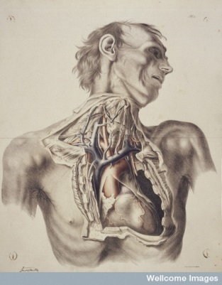 "L0033441,""The large arteries of thorax and neck"", ©Wellcome Trust Library"