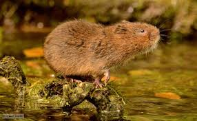 A water vole perching in a stream.